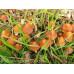Psilocybe Azurescens Spore Syringe
