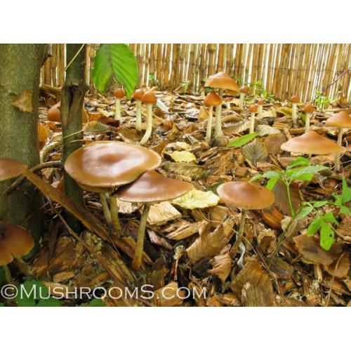 Psilocybe Azurescens Mushrooms Spore Syringes