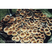 Purple Mystics Cubensis Magic Mushrooms Spores from Florida