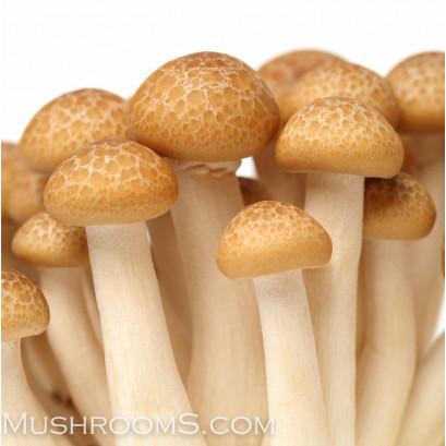 Beech Mushroom Culture Syringe
