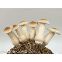 Pioppino Mushroom Culture Syringe