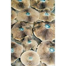 Brazil Cubensis Spore PRINT