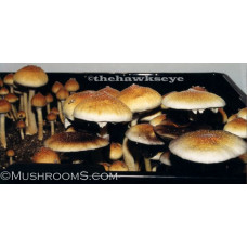 mushroom-spore-syringes