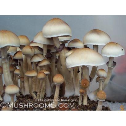 Cambodia Cubensis Spore PRINT