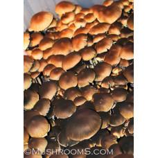 Corumba Brazil Cubensis Spore PRINT