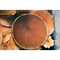 Corumba Brazil Cubensis Spore Syringe
