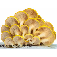 Golden Oyster Mushroom Liquid Culture Syringe