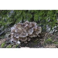 Maitake Mushrooms Spore PRINT