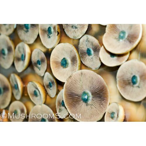 Mazatapec Mexico Psilocybe Cubensis Mushroom Spores