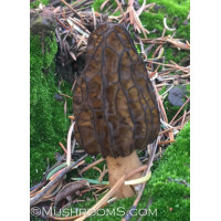 Morel Mushroom Culture Syringe