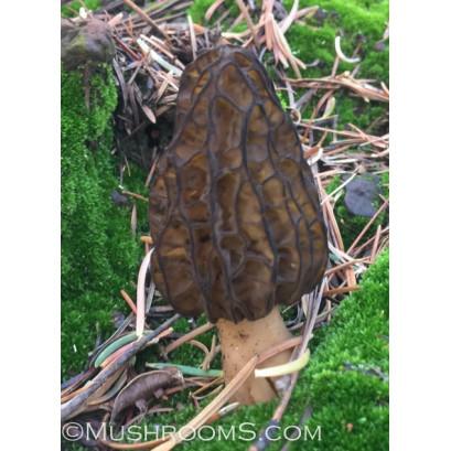 Morel Mushroom Spore Print