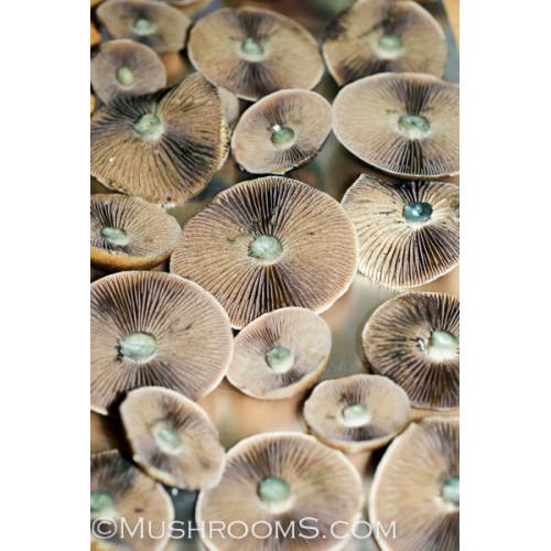 Orissa India Cubensis Magic Mushroom Spore Syringe