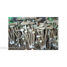 Panaeolus (Copelandia) Tropicalis Spore Syringe