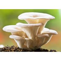 Pearl Oyster Mushroom Culture Syringe