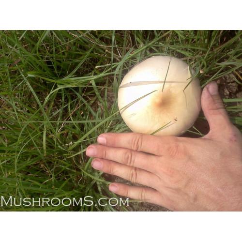 Purple Mystics Cubensis Magic Mushrooms Spores from Florida