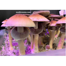 Red Boy Cubensis Spore PRINT