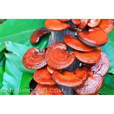 Reishi Mushroom Culture Syringe