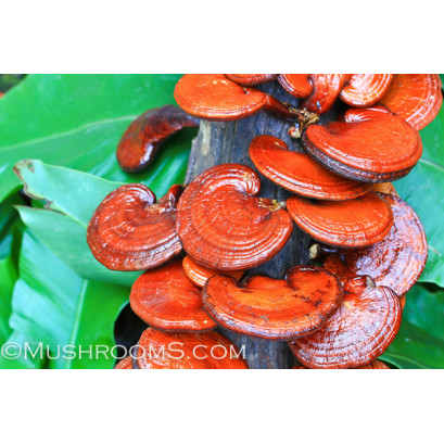 Reishi Mushroom Spore PRINT