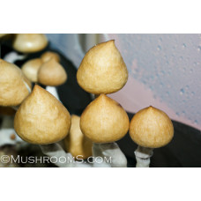 Psilocybin Cubensis Mushroom Spores
