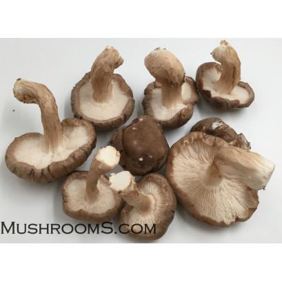 Shiitake Mushrooms Culture Syringe