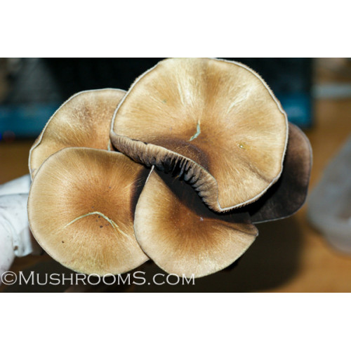 Thailand Koh Samui Super Strain Cubensis Mushroom Spore Syringe