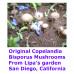 Panaeolus (Copelandia) Bisporus Spore Syringes