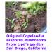 Panaeolus (Copelandia) Bisporus Spore PRINTS