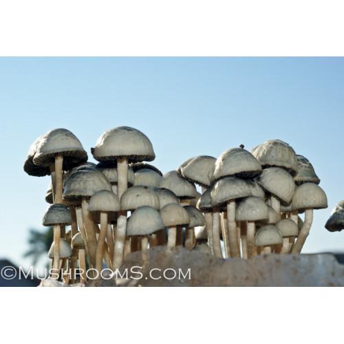 Panaeolus (Copelandia) Cyanescen Mushroom Spore Syringe Jamaica