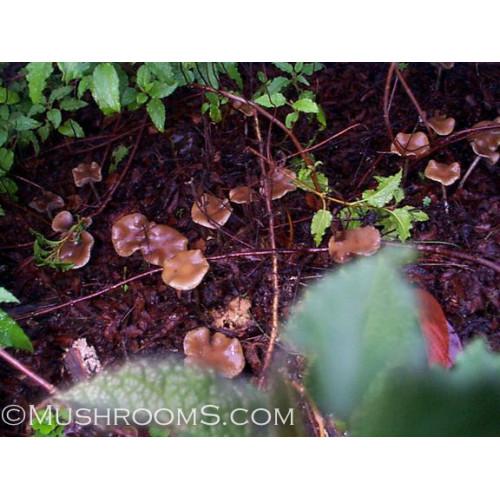 Psilocybe Cyanescens Magic Mushrooms Spore Syringe