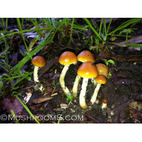 Psilocybe Azurescens Mushrooms Spore Syringes