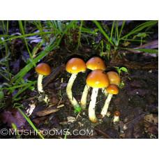 Psilocybe Subaeruginosa Spore PRINTS